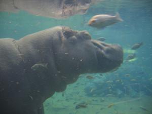 aquarium_hippo