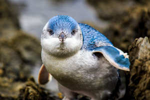 littlebluepenguins